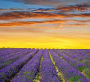 Lavender fields in Provence at sunset Stock Photo