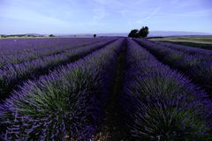 Lavender fields of Provence Stock Photos