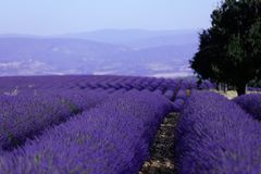 Lavender fields of Provence Stock Photo