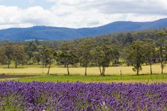 Lavender fields with rolling hills and mountains in background. Margate, TASMANIA, AUSTRALIA, DEC 31, 2016 : Tasmanian lavender fields with rolling hills and Stock Images