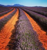 Lavender fields. Rows of avender Royalty Free Stock Photo