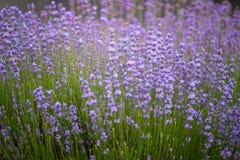 Lavender Fields. Rows Of Lavender Plants Blossoming In A Farm. The Lavender Fields. Rows Of Lavender Plants Blossoming In A Farm stock photos