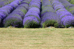 Lavender fields on San Juan Island. Royalty Free Stock Photo