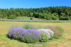 Lavender fields on San Juan Island. Royalty Free Stock Photography