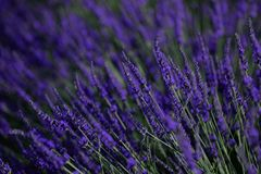 Lavender fields seen from drone, close-up view Royalty Free Stock Images