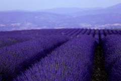 Lavender fields seen from drone, close-up view Stock Image