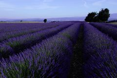 Lavender fields seen from drone Stock Photos