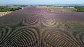 Lavender fields seen from drone