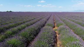 Lavender fields seen from drone stock footage