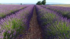 Lavender fields seen from drone. Lavender Fields of Provence, France, drone view, Valensole Plateau stock footage