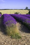 Lavender fields snowshill lavender farm the cotswolds gloucester Stock Photography