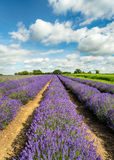 Lavender Fields in Somerset. A field of Lavender in bloom in Somerset in the English countryside royalty free stock images