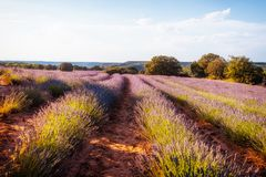 Lavender fields.  Summer sunset landscape in Brihuega. Lavender fields. Summer sunset landscape in Brihuega, Guadalajara Stock Photos