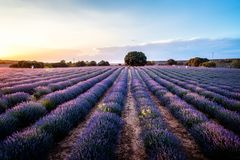 Lavender fields.  Summer sunset landscape in Brihuega. Lavender fields. Summer sunset landscape in Brihuega, Guadalajara Royalty Free Stock Image