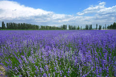 Lavender fields in summer Stock Photos