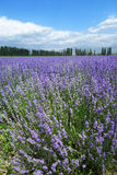 Lavender fields in summer Royalty Free Stock Images