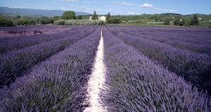 Lavender Fields. In sunny France royalty free stock photos