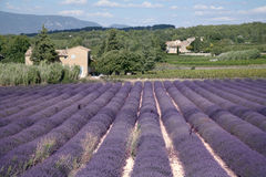 Lavender Fields. In sunny France stock image