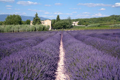 Lavender Fields. In sunny France Royalty Free Stock Photography