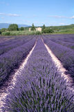 Lavender Fields. In sunny France stock images