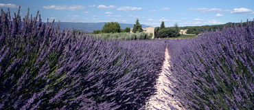 Lavender Fields. In sunny France Stock Photos