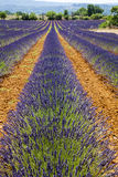 Lavender Fields. In sunny France royalty free stock photo