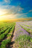 Lavender fields at sunset Royalty Free Stock Images
