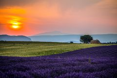 Lavender fields at sunset near the village of Valensole, Provence, France. royalty free stock images