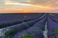 Lavender Fields at sunset Stock Image