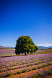 Lavender fields in Tasmania. Single beautiful green tree in a commercial lavender field in Tasmania with rows of pretty purple flowering bushes Stock Photo