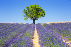 Lavender fields with tree Stock Images