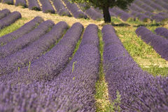 Lavender fields with tree. Provence. France. Royalty Free Stock Photo