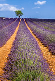 Lavender fields in Valensole with olive trees. Provence, France Stock Photography