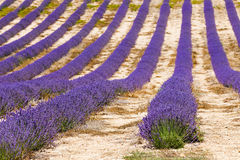 Lavender fields in valensole provence france landscape Royalty Free Stock Photos