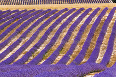 Lavender fields in valensole provence france landscape Royalty Free Stock Photography