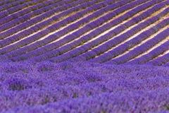 Lavender fields in valensole provence france landscape Stock Image