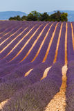 Lavender fields in valensole provence france landscape Royalty Free Stock Image