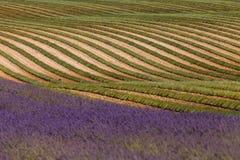 Lavender fields in valensole provence france landscape Royalty Free Stock Photo
