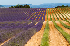Lavender fields in valensole provence france landscape. Lavender fields provence france landscape Royalty Free Stock Photo