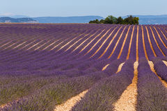 Lavender fields in valensole provence france landscape. Lavender fields provence france landscape Stock Photo