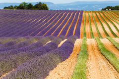 Lavender fields in valensole provence france landscape. Lavender fields provence france landscape Royalty Free Stock Photos