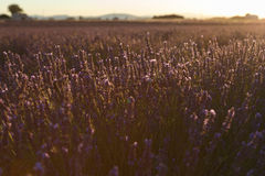 Lavender fields in valensole provence france landscape. Lavender fields provence france landscape Royalty Free Stock Photography