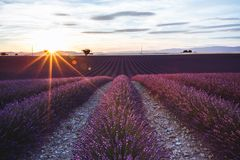Lavender Fields in Valensole, Provence, France. At Sunset Stock Photos