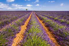 Lavender fields in Valensole. Summer in Provence, France Royalty Free Stock Images