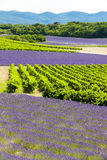 Lavender fields with vineyards Stock Photo