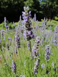 Lavender fields ! Washington State stock photography