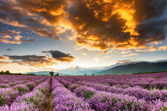 Lavender. Fiery cloud above the vast lavender valley Stock Photography