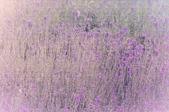 Lavender filed Royalty Free Stock Photos