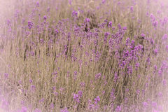 Lavender filed Stock Photos