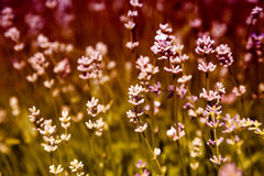 Lavender floral background Royalty Free Stock Photo
